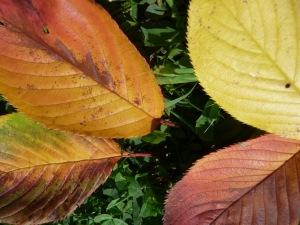 Fall Leaves, photo Susan Katz Miller