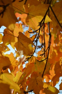 Fall Maple Leaves, photo Susan Katz Miller
