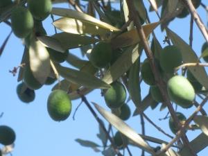 Olive Branches, photo by Martha Legg Katz