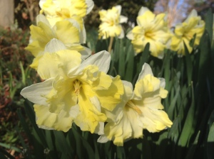 Spring daffodils by Susan Katz Miller